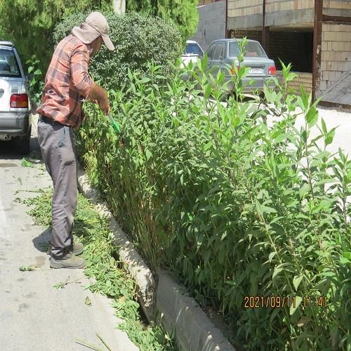 فرم دهی و هرس درختان و شمشادهای خیابان شهید بهشتی